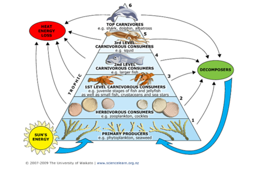 Marine Trophic Pyramid Gallery Supersize Landscape on Food Chain Energy Flow Through